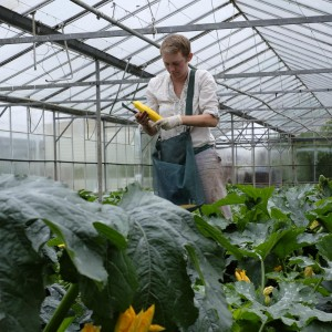 Cara GWG Courgette harvesting