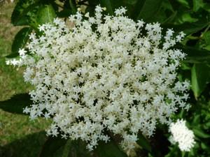 elderflower-blossom