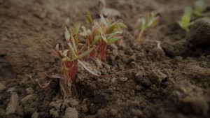 Quinoa seedlings